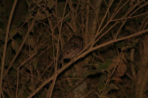bolivia owl chuquisaca padilla
