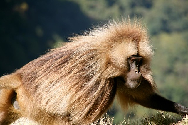 Gelada en las Montañas Simien, macizo de Abisinia, Etiopía.