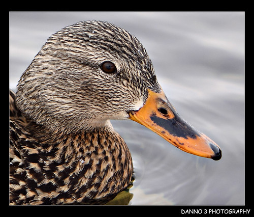 female malard duck