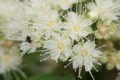 Backhousia citriodora (Lemon Ironwood) - cultivated
