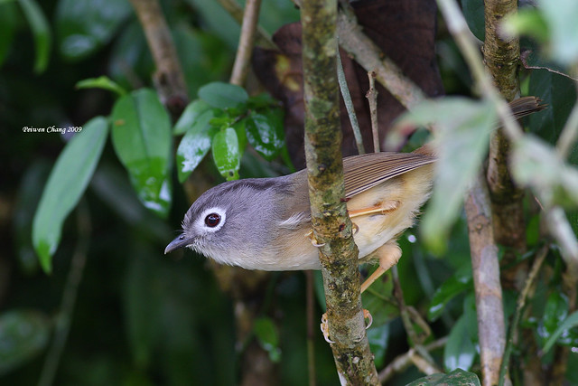 繡眼畫眉  Grey-cheeked Fulvetta