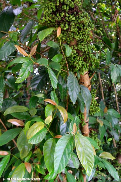 Ficus congesta var. congesta - Red-leaf Fig, Cluster Fig