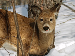 Cute Deer sticking out tongue