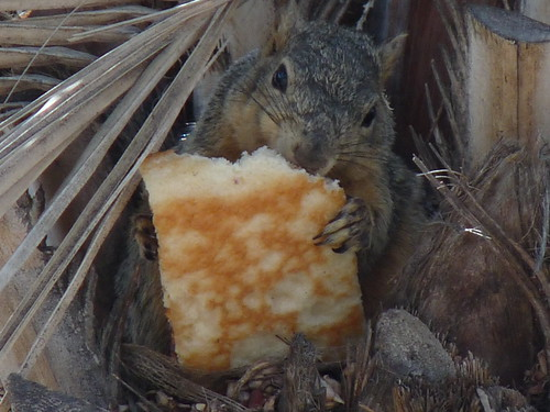 Squirrel with a big appetite