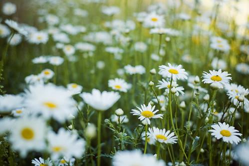 california bokeh quote song daisy thesmashingpumpkins redding 2009 flowergarden sundialbridge natureycrap photoshootwithjillianpoitras lotsandlotsandlotsofflowers snaillyric