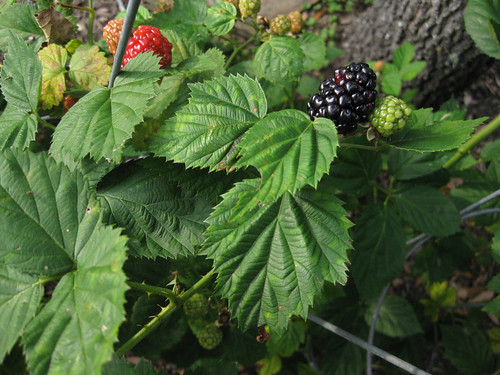 Wild Blackberry Leaves Foraging Texas:...