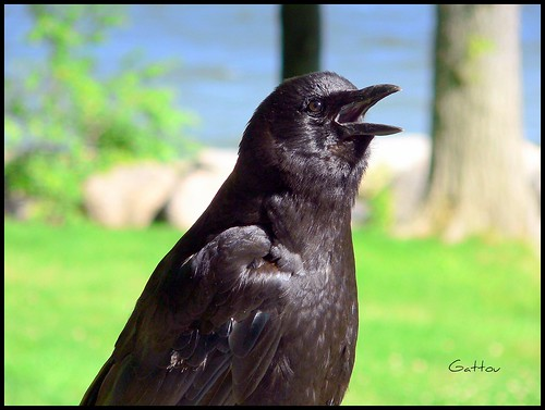 Crow (female)