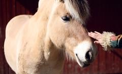 halter(0.0), animal(1.0), mane(1.0), mare(1.0), stallion(1.0), mammal(1.0), head(1.0), foal(1.0), horse(1.0), close-up(1.0), mustang horse(1.0), pony(1.0),