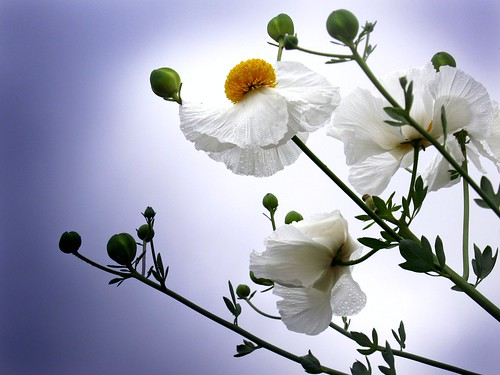 Miss Matilija Poppy