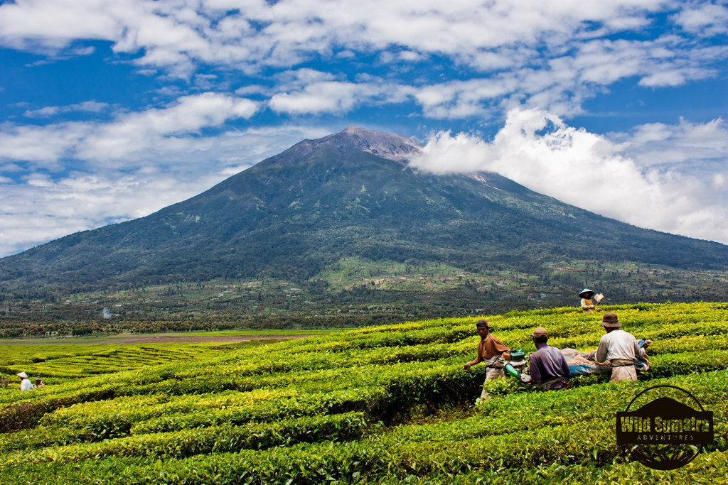 Tea Fields of Gunung Kerinci