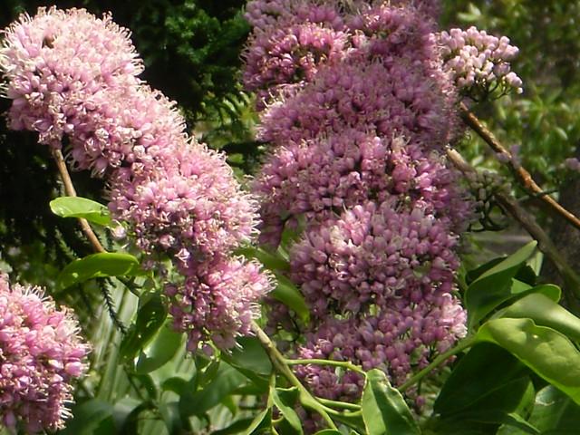 Melicope elleryana (Pink Euodia)