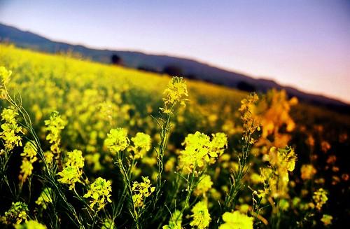 california sunset blur field grass yellow landscape geotagged evening hills april flowering grasses organic tilt 2008 yellowflowers tilted tilting hollister sanbenitocounty michaelpatrick wildgrowth april2008 hollistercalifornia sanbenitocountycalifornia address:continent=northamerica address:country=unitedstatesofamerica address:state=california iyouitnotprocessed geo:lat=3683599 hollistervalley geo:lon=12140305