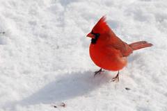 Cardinal - Indiana's State Bird