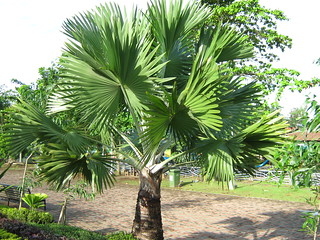 ANAHAW IN THE PHILIPPINES