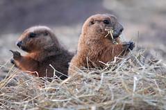 marine mammal(0.0), sea otter(0.0), harbor seal(0.0), animal(1.0), seals(1.0), otter(1.0), prairie dog(1.0), mammal(1.0), fauna(1.0), marmot(1.0), whiskers(1.0), mink(1.0), wildlife(1.0),