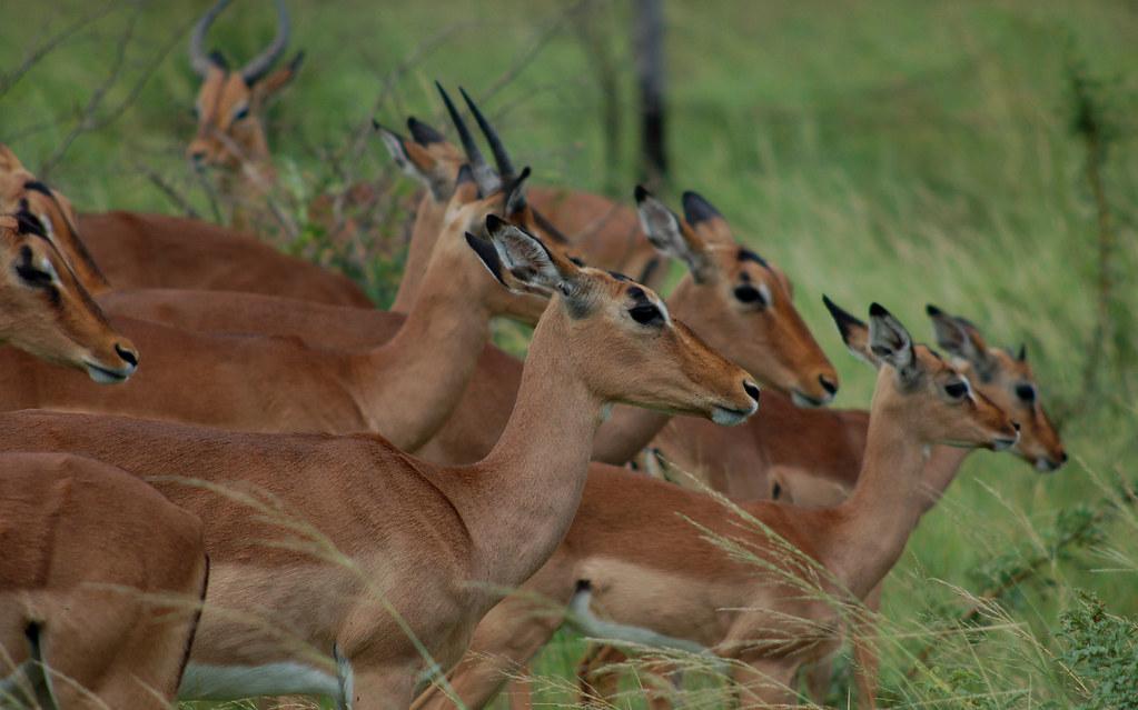 Buck, Hluhluwe Imfolozi Game Reserve