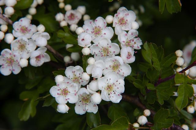 Hawthorn flower