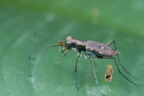 Tiger beetle with dead ant's head on its antenna...IMG_3010 copy