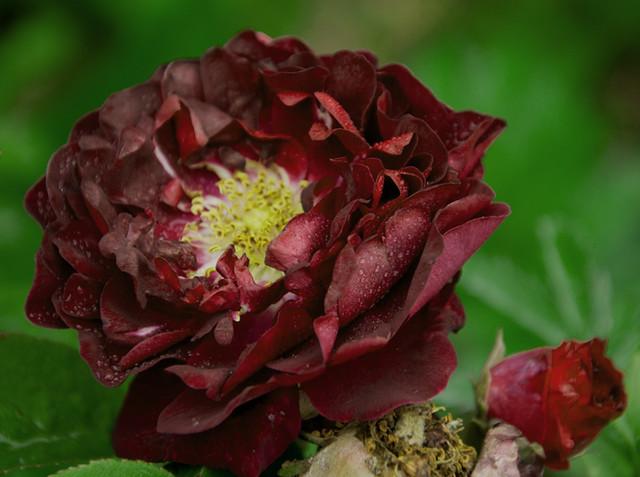 rose ancienne 39 tuscany superb 39 flickr photo sharing. Black Bedroom Furniture Sets. Home Design Ideas