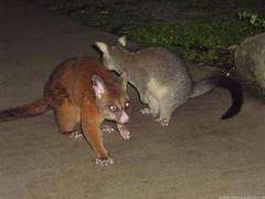animal, mammal, fauna, kinkajou, viverridae, macropodidae,