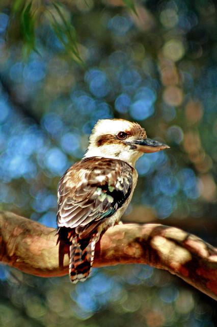 Laugh Kookaburra, laugh - Explored
