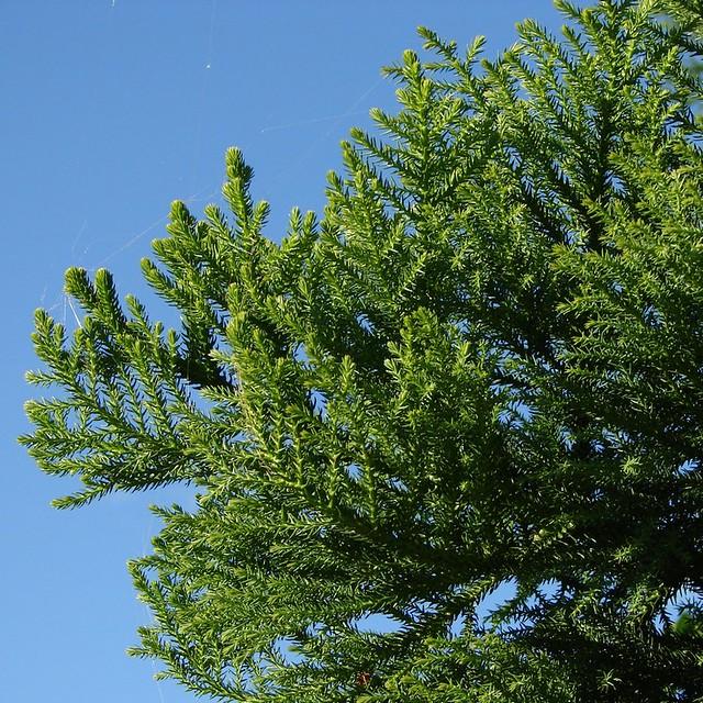 hoop pine -   araucaria cunninghamii