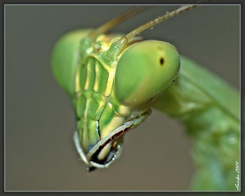 My best angle (Green Mantis )