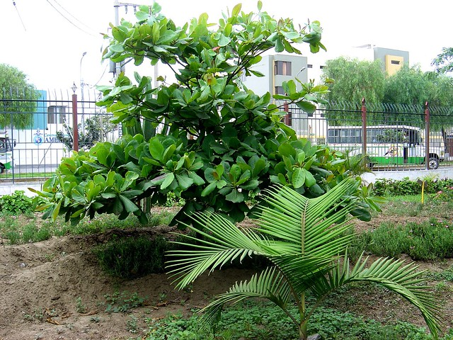 Dsc01667 arboles y plantas jard n bot nico trujillo for Azucena plantas jardin