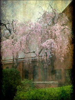 Cherry Trees Weeping in the Churchyard