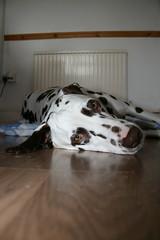 Daisy Dalmatian