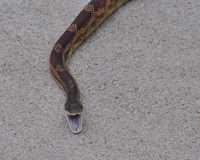 rat snake texas images - photo #42