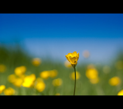 ~  Buttercup ~ (flowers and blue sky)