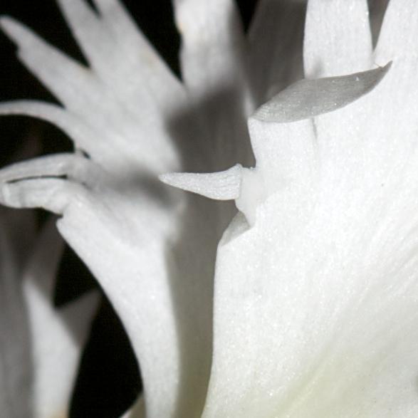 Dianthus plumarius, fragment