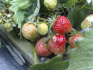 Strawberries starting to ripen