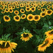 Sunflower field by jonathan charles photo
