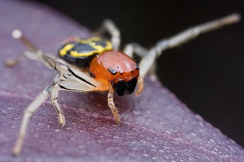 Crab spider Camaricus maugi ...IMG_0338 copy