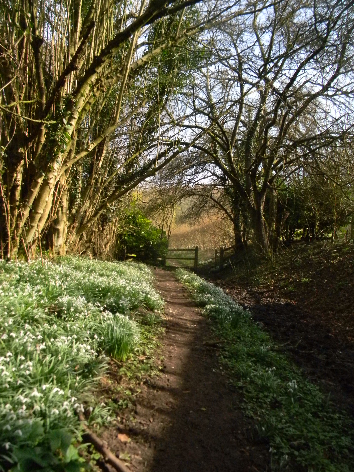 Snowdrops near Bottom House Farm Pangbourne Circular