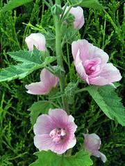 ALCALTHAEA suffrutescens 'Parkrondell'