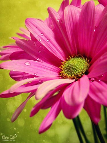 pink flower green texture dewdrops drops spring vibrant dew flourescent explored ishkamina theinterestingshot