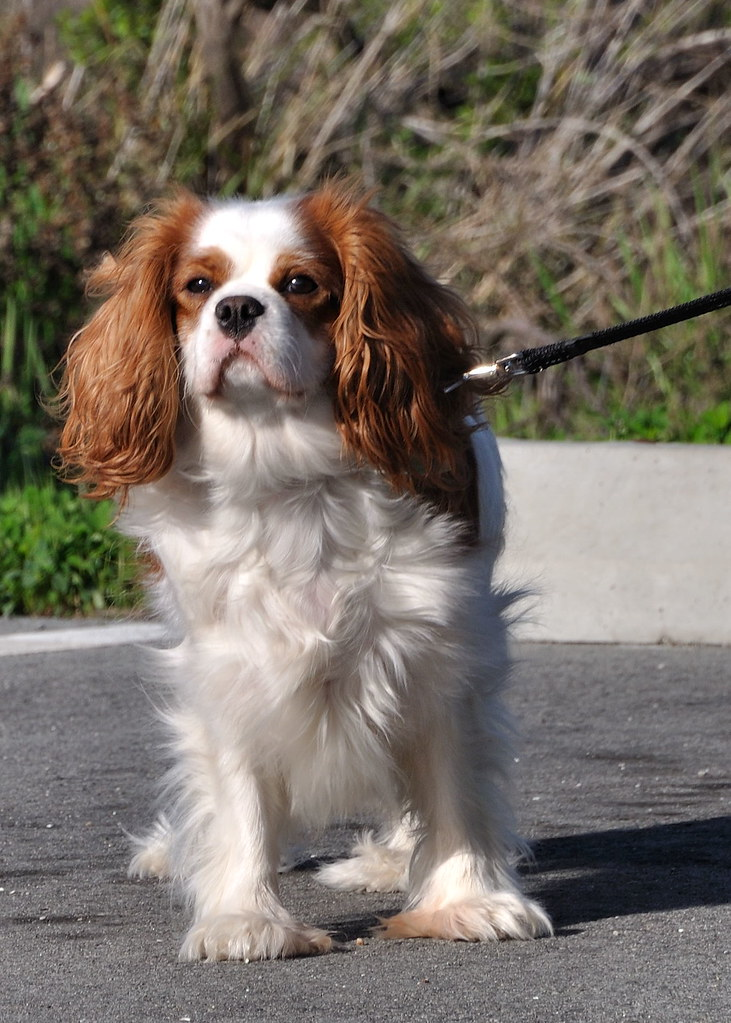 Cavalier King Charles Spaniel at the  Palo Alto Baylands