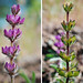 Chick Lupine - Photo (c) Claire Woods, some rights reserved (CC BY-NC-ND)