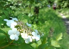 blossom(0.0), shrub(1.0), flower(1.0), garden(1.0), leaf(1.0), hydrangea serrata(1.0), plant(1.0), nature(1.0), wildflower(1.0), flora(1.0), green(1.0), meadow(1.0),