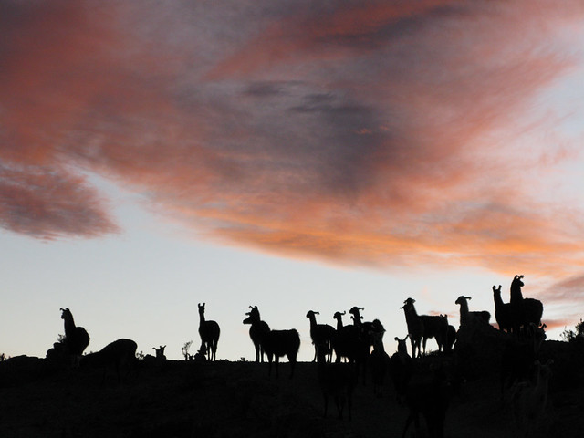 Sunset Llamas