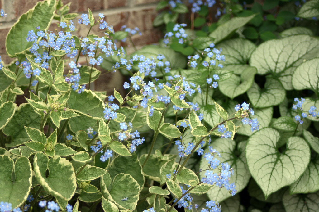 Brunnera in Bloom