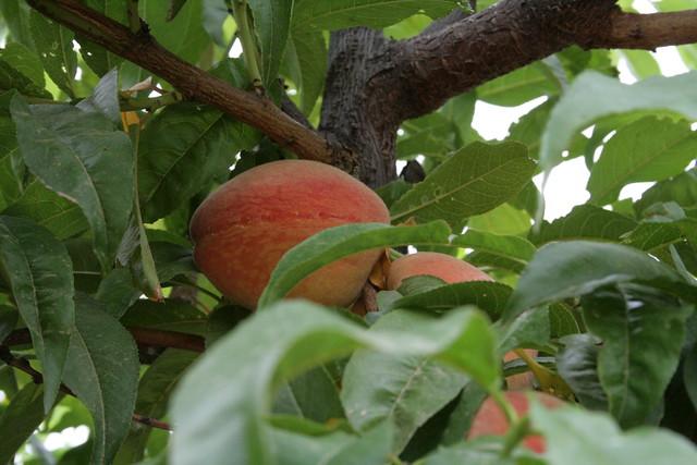 peach season