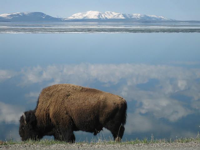 Bisonte en el Parque Nacional Yelowstone.