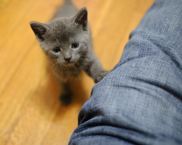 Grey foster kitten
