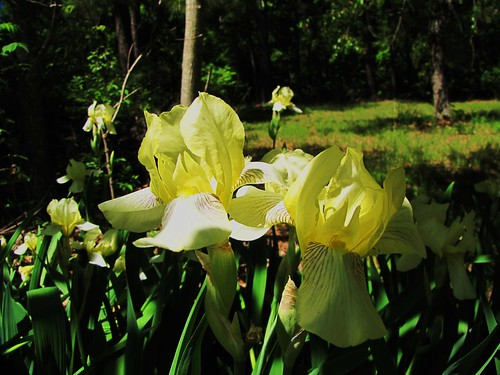 flowers usa plant green nature yellow canon landscapes daylight view state south country peaceful powershot daytime arkansas tranquil irises ozark sx10is waltphotos