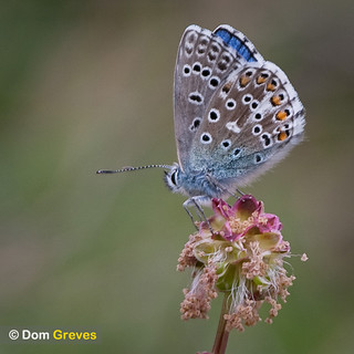 Adonis Blue on Burnet