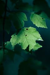 Leaf at Dusk